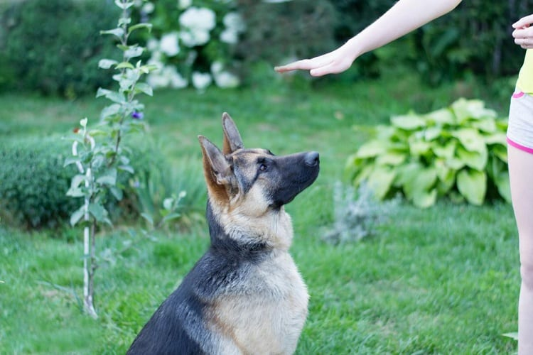 What's The Best Age To Start German Shepherd Training?