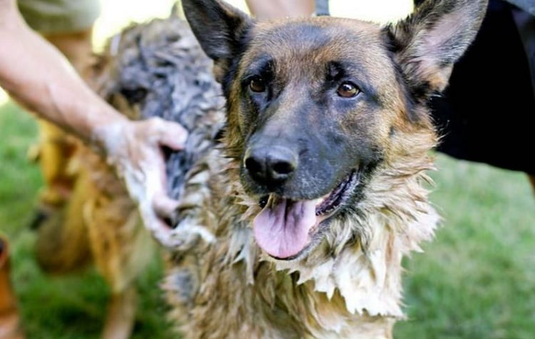 Do's And Don't's Of Grooming Your German Shepherd.