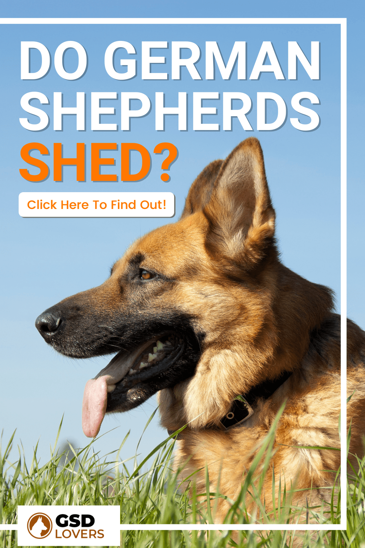 Do German Shepherds Shed? 1