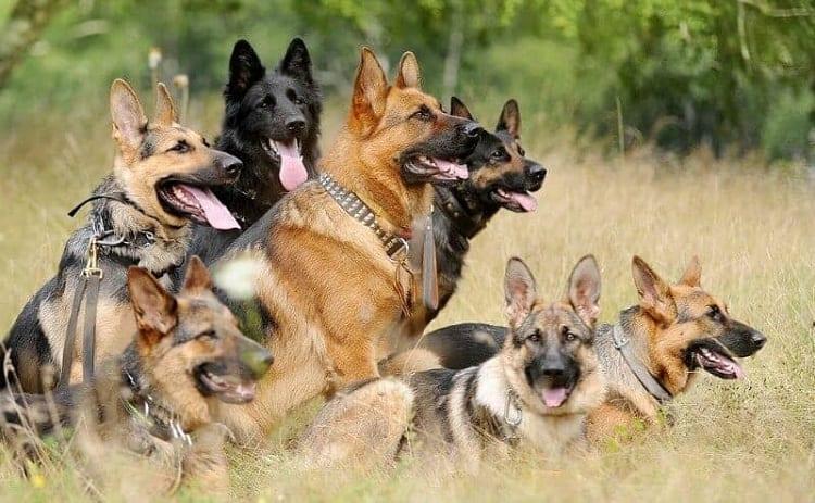 Can German Shepherd Coat Colors Be Predicted?