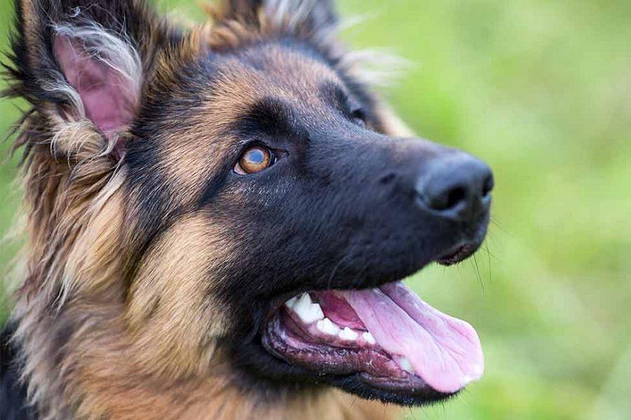 German Shepherd Teeth Care Guide