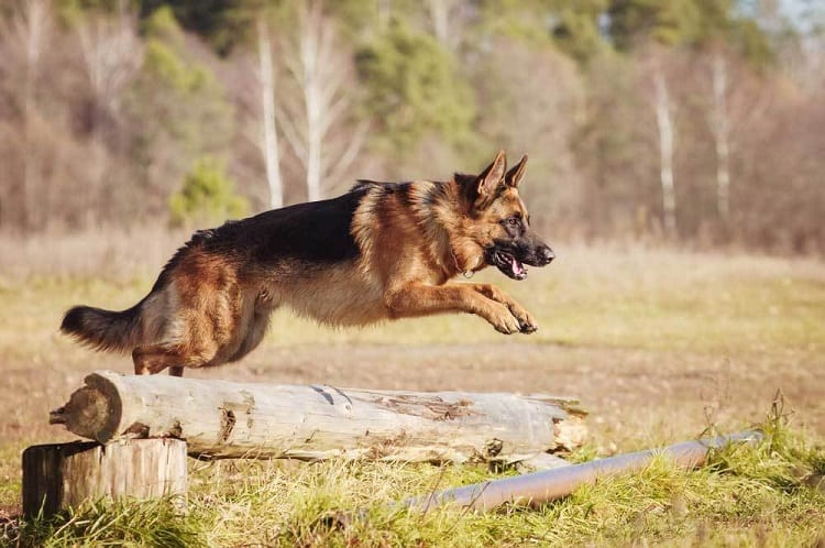 How High Can A German Shepherd Jump?