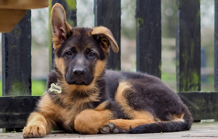 How Much Does a German Shepherd Puppy Cost?