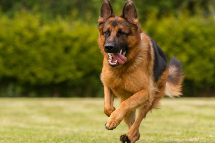 How Fast Can German Shepherds Run?