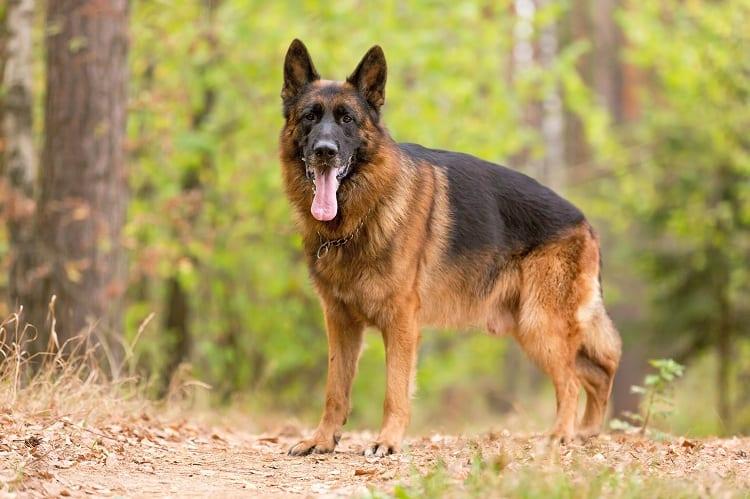 How Much Should a German Shepherd Weigh?