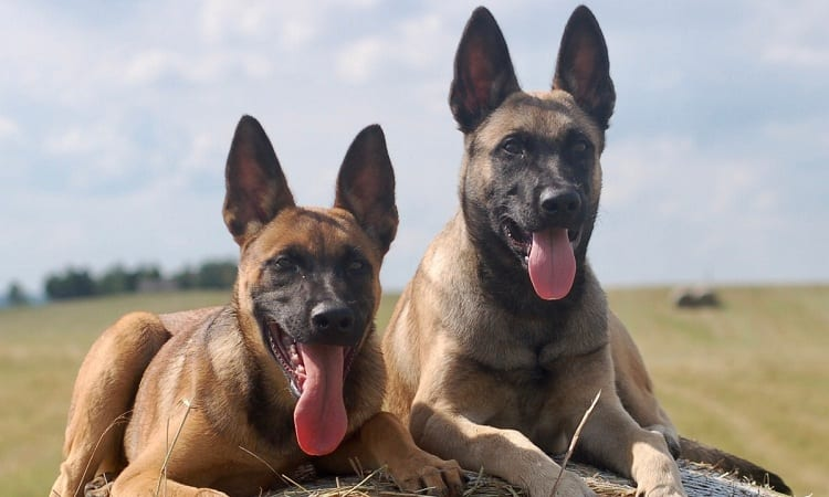 Overview Of Belgian Malinois