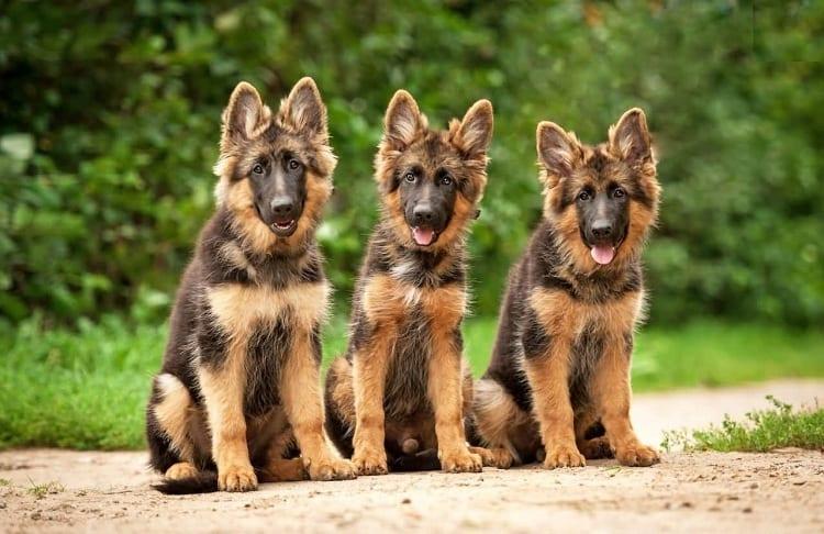 Other German Shepherd Facts