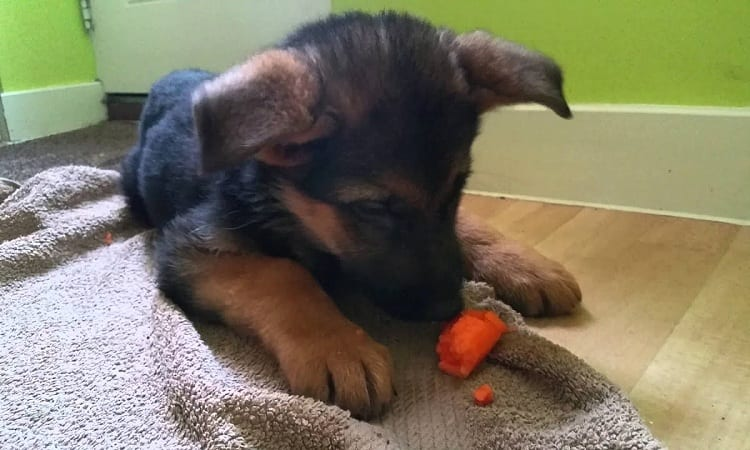 SAFE HUMAN FOODS TO GIVE YOUR GERMAN SHEPHERD PUPPY