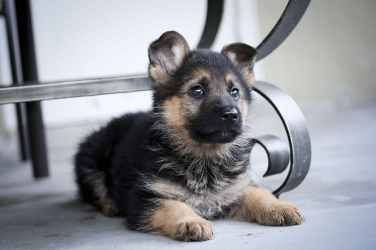 At What Age Should You Start Potty Training Your German Shepherd Puppy?