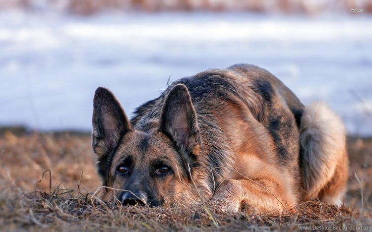 German Shepherd Facts Include Many Names