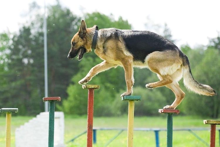 Is German Shepherd Training Necessary?