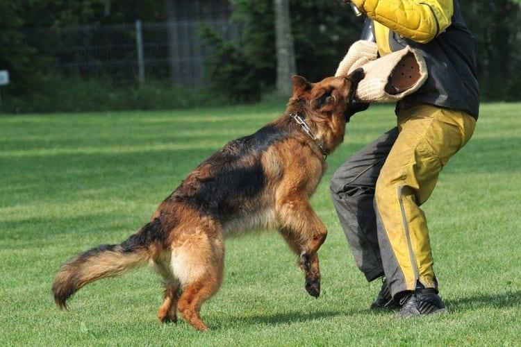 German Shepherds Facts And Schutzhund