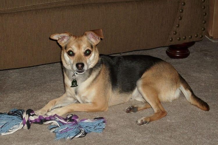 Shepherd Chihuahuas