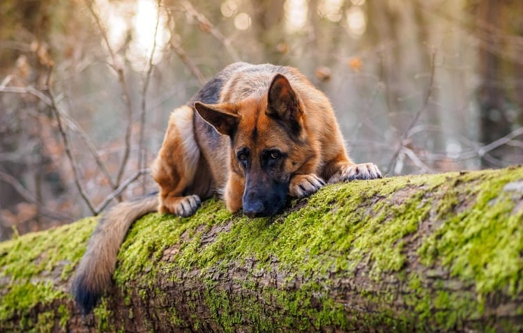 Are German Shepherds more loyal than other dogs?