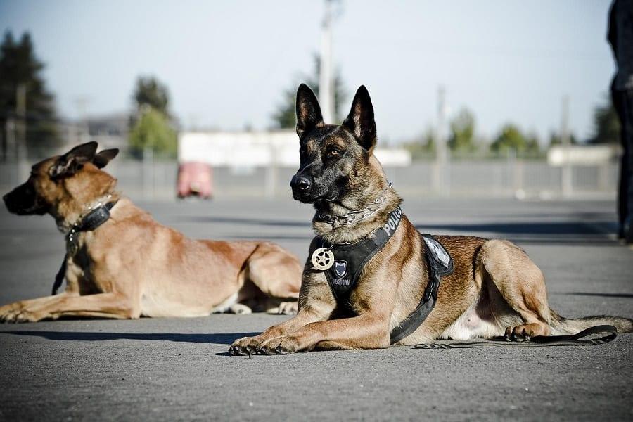Why Do Police Use German Shepherds