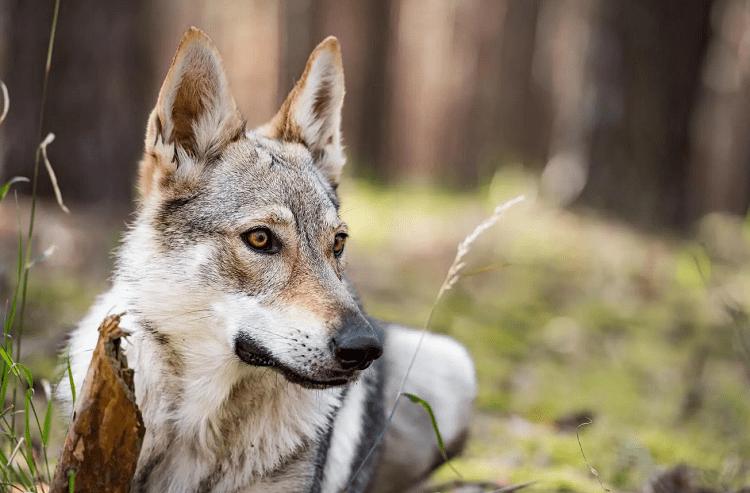 Shepherd Wolves or Czech Wolf Shepherds