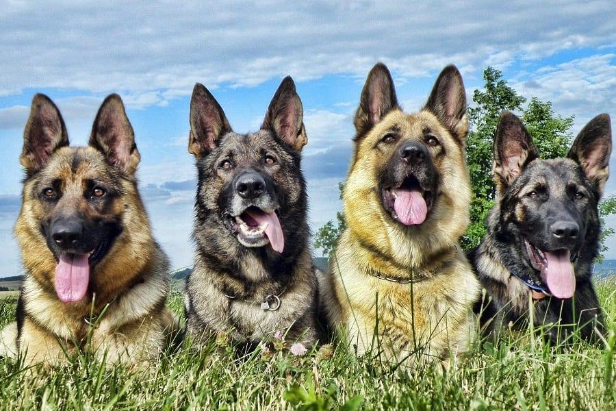 Guide To German Shepherd Colors