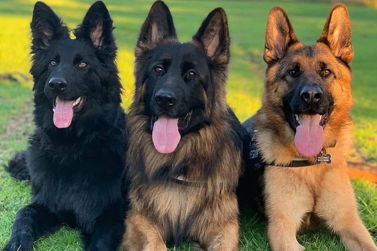 How do German Shepherds compare?