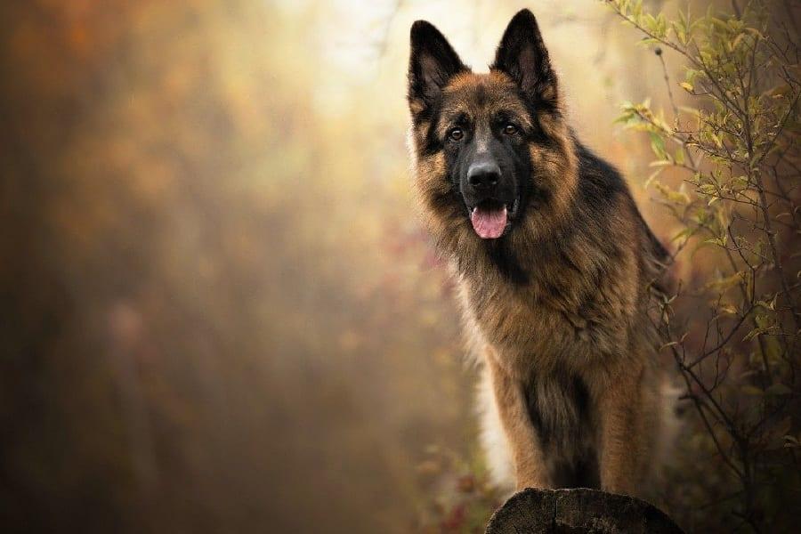 Ultimate Guide To German Shepherd Care