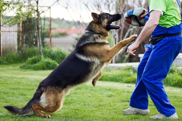 What Happens If a German Shepherd Does Not Exercise Enough?
