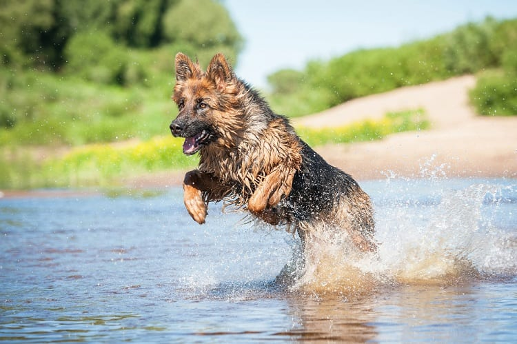 How Much Exercise Do German Shepherds Need?