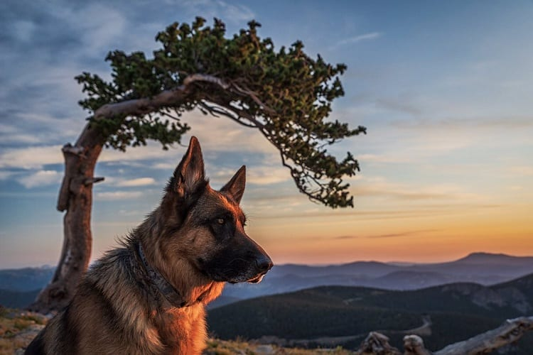 ARE GERMAN SHEPHERDS PRONE TO ANXIETY?