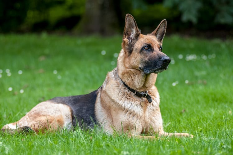 Exactly how loyal are German Shepherds?
