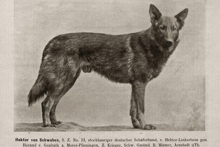 The first famous German Shepherd - Horand von Grafrath - 1891