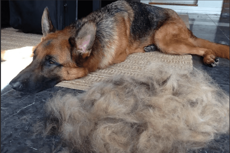How Much Do German Shepherds Shed?