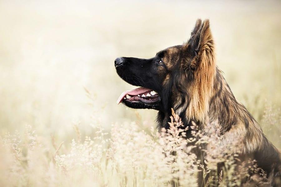Optimal Weight For German Shepherd