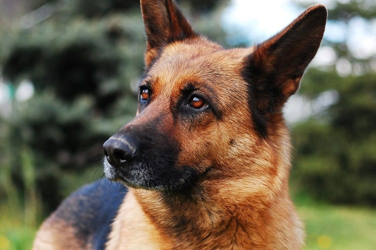 Are German Shepherds Dangerous?