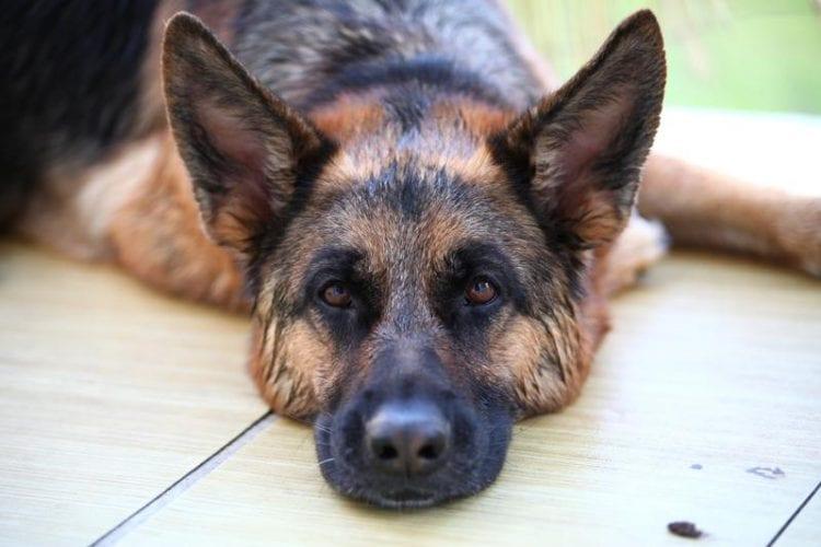 How To Spot German Shepherd Hip Dysplasia