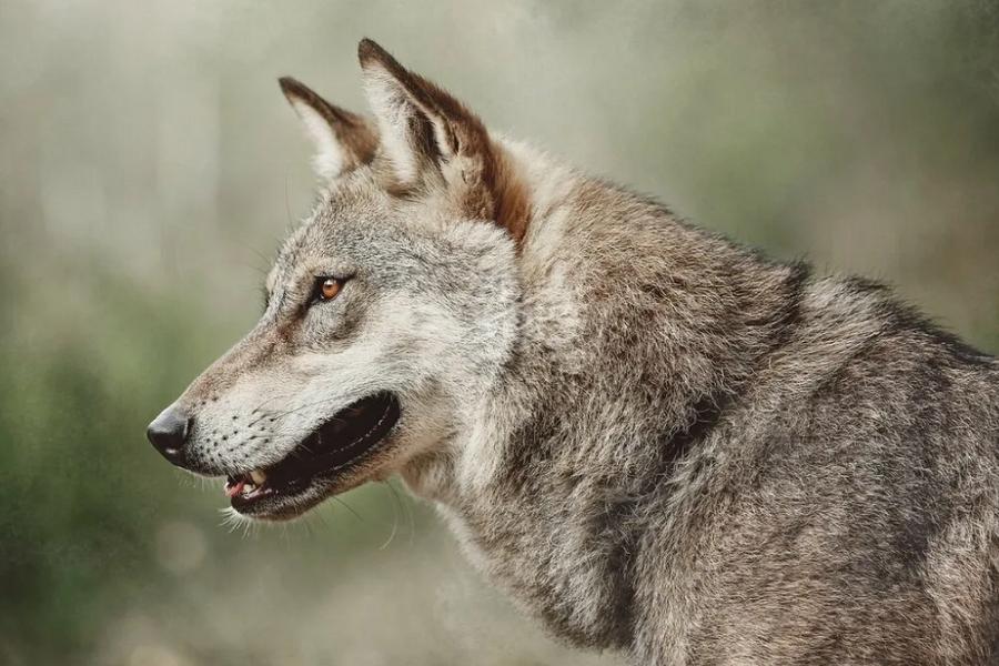German Shepherd Wolf Mix – Wild But Domesticated