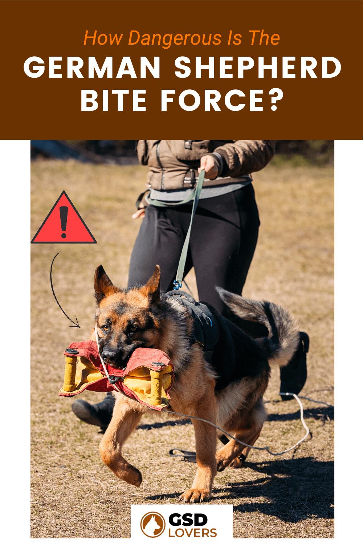 How Dangerous Is The German Shepherd Bite Force? 1