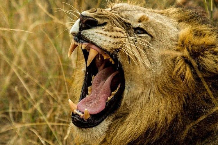 #3 LIONS, JAGUAR, AND TIGER PSI