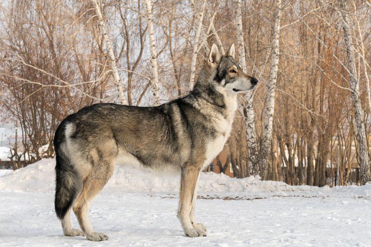 #2 SAARLOOS WOLFHUND SIZE