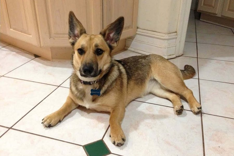 The Intrigue Of The German Shepherd Terrier Mix