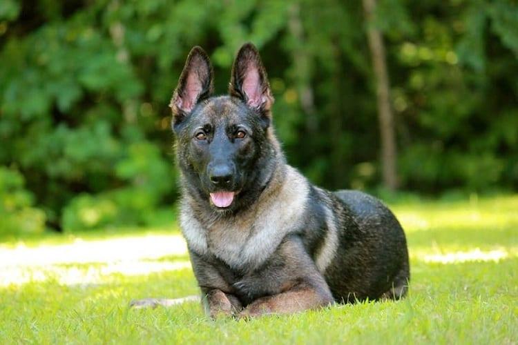 Female German Shepherd Appearance