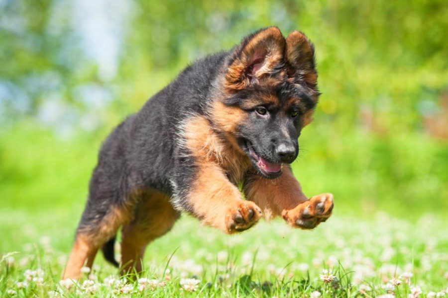 How To Play With German Shepherd Puppy