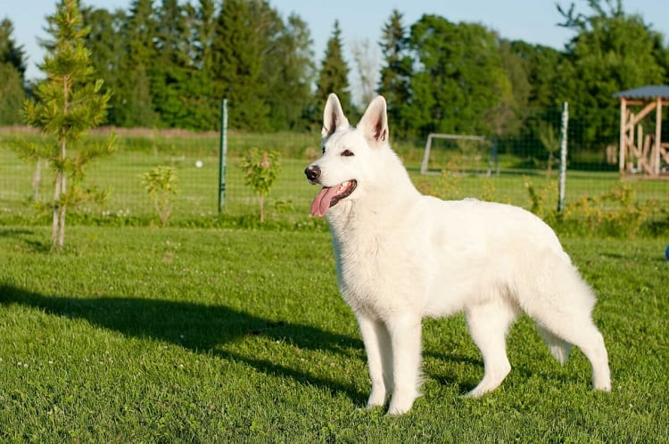 How To Care For White German Shepherd