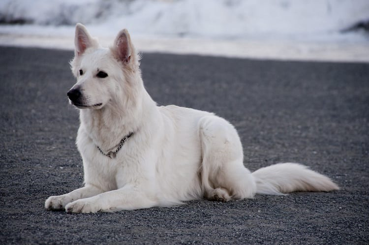 Health Issues With White German Shepherds