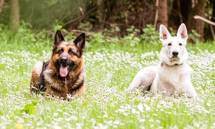 White German Shepherd vs Regular GermanShepherd