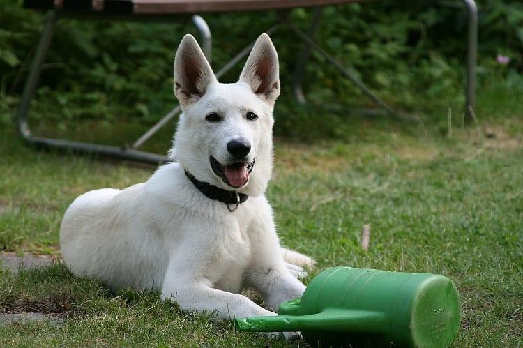 What Is a White German Shepherd?