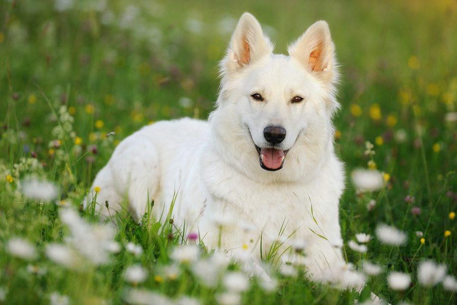 White German Shepherd Explained