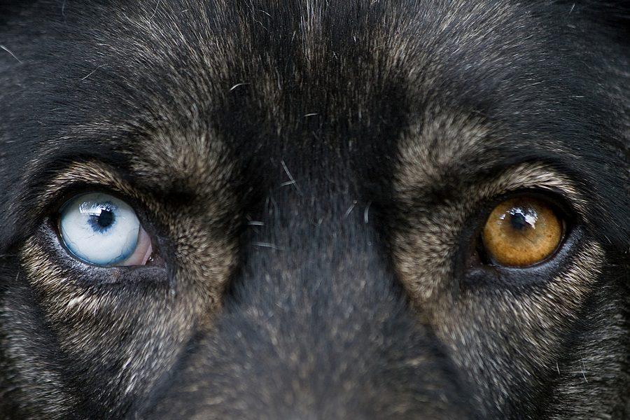 German Shepherd Eye Colors Explained