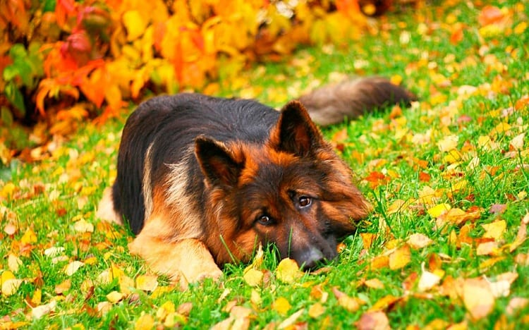 How To Care For German Shepherds While They Are Growing