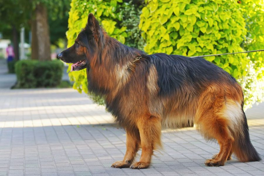 How To Take Care Of Long-Haired German Shepherds?