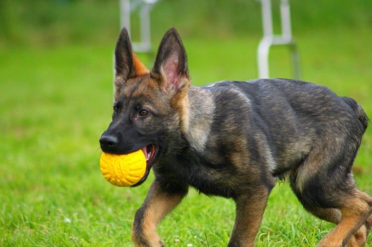 Temperament Of Working Line German Shepherds