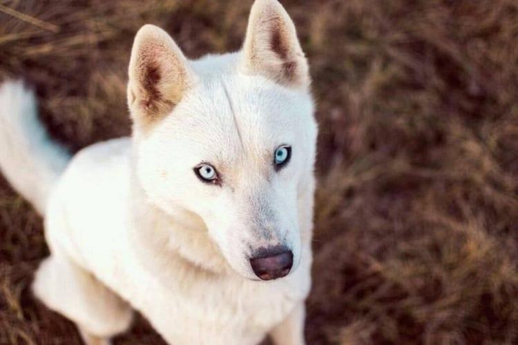 Who Is a Husky German Shepherd Mix For?