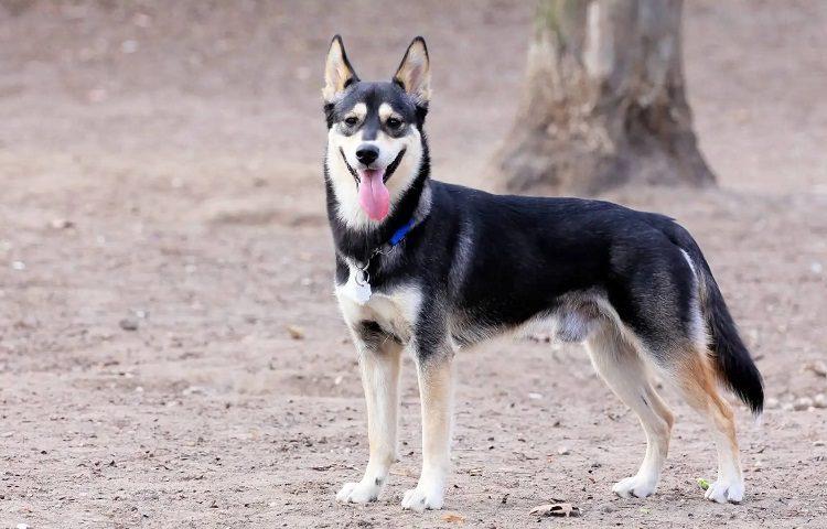 shepsky hybrid dog